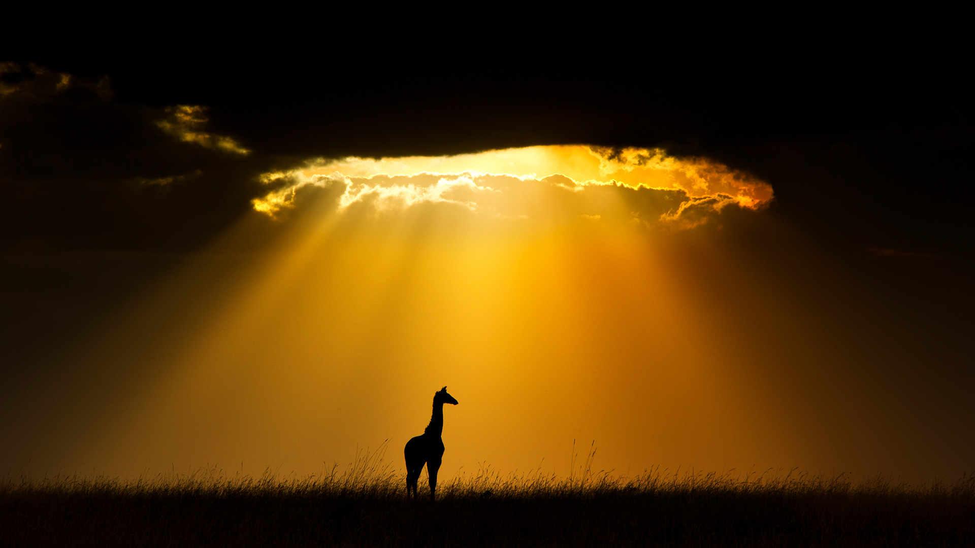 Cites Artenschutz: Giraffe im Sonnenuntergang