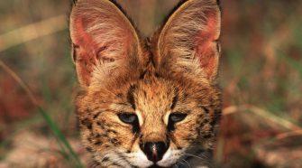 Raubkatze: Der Serval