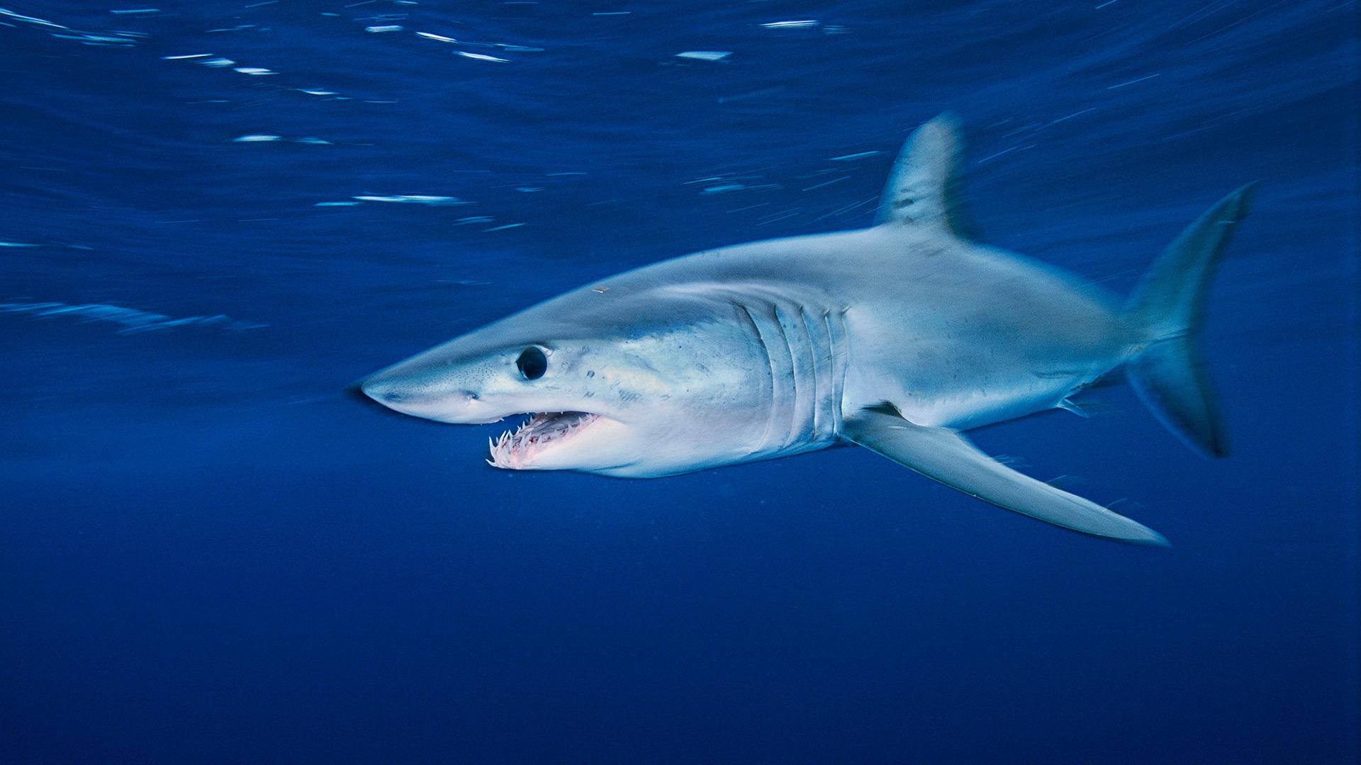 Inzwischen stehen mehr als 70 Haiarten auf der Roten Liste. © Brian J. Skerry / National Geographic Stock / WWF