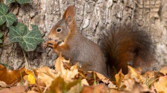 Eichhörnchen brauchen viel Futter - gerade im Herbst