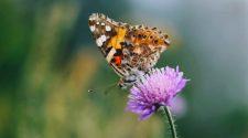 Insektenschutz: Schmetterling auf Blume