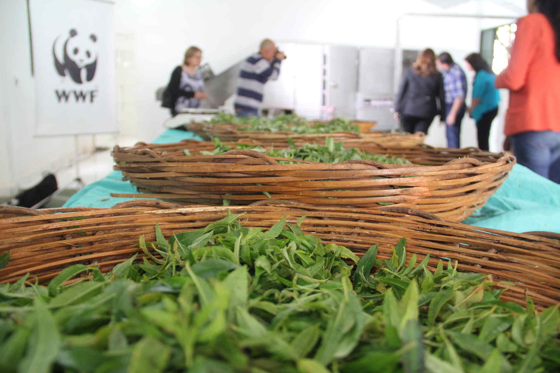 Mate nach der Ernte im Projekt Paraguay