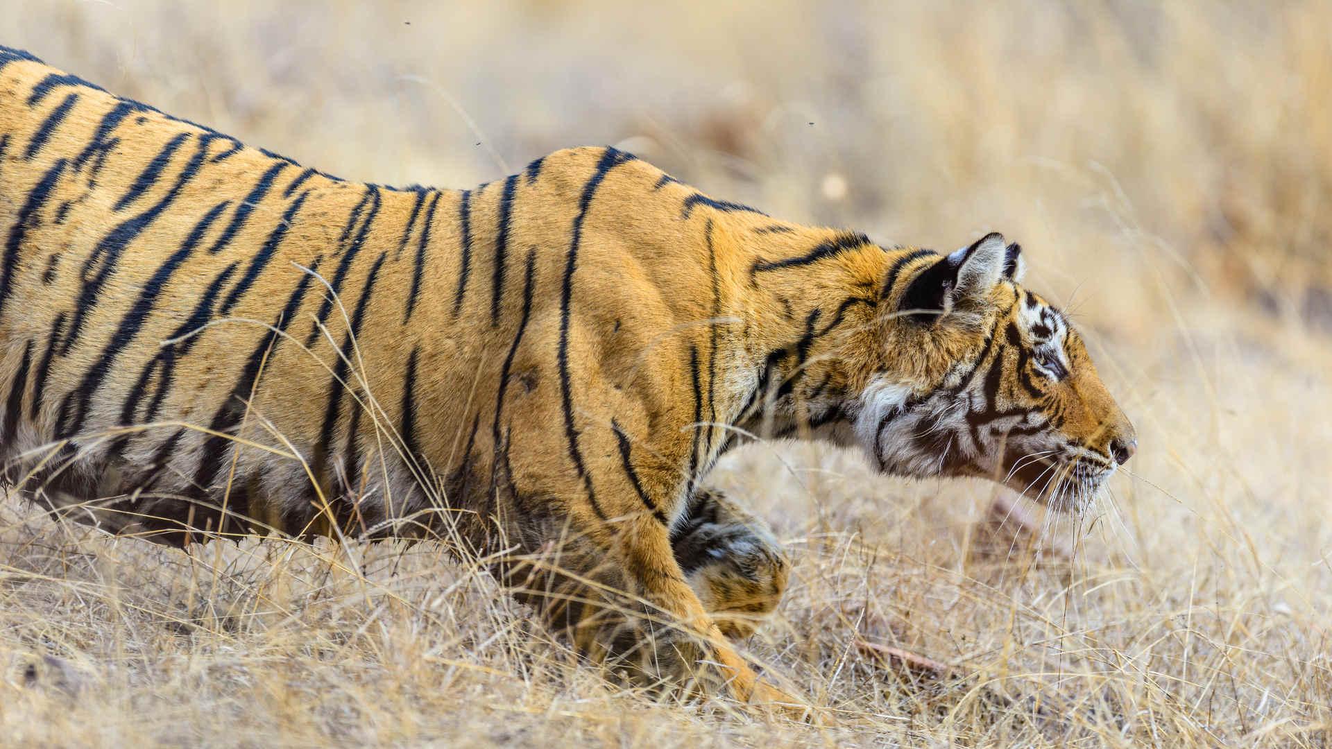 Tiger fakten: Tiger auf der Jagd