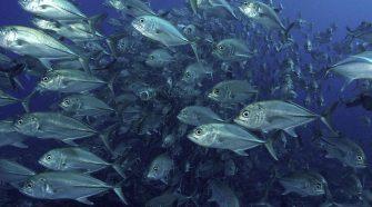 Meeresspiegelansteig: Fischschwarm
