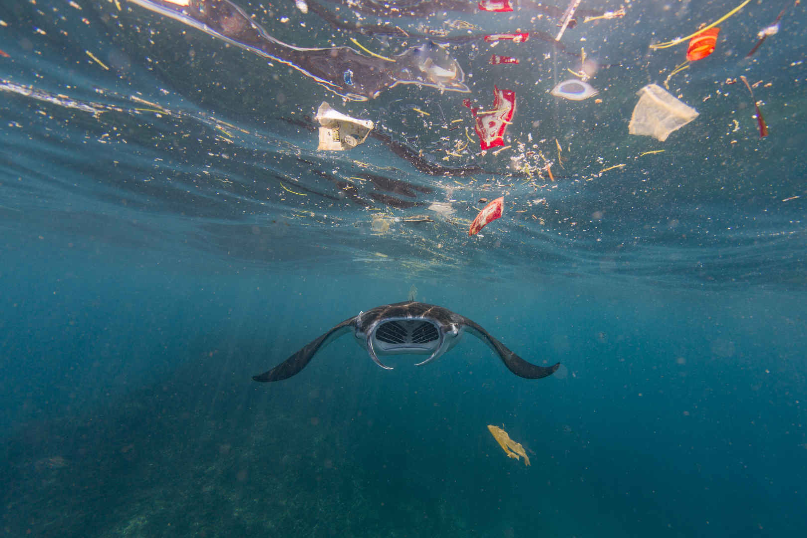 Plastik Tiere: Manta schwimmt durch ein Meer von Plastik
