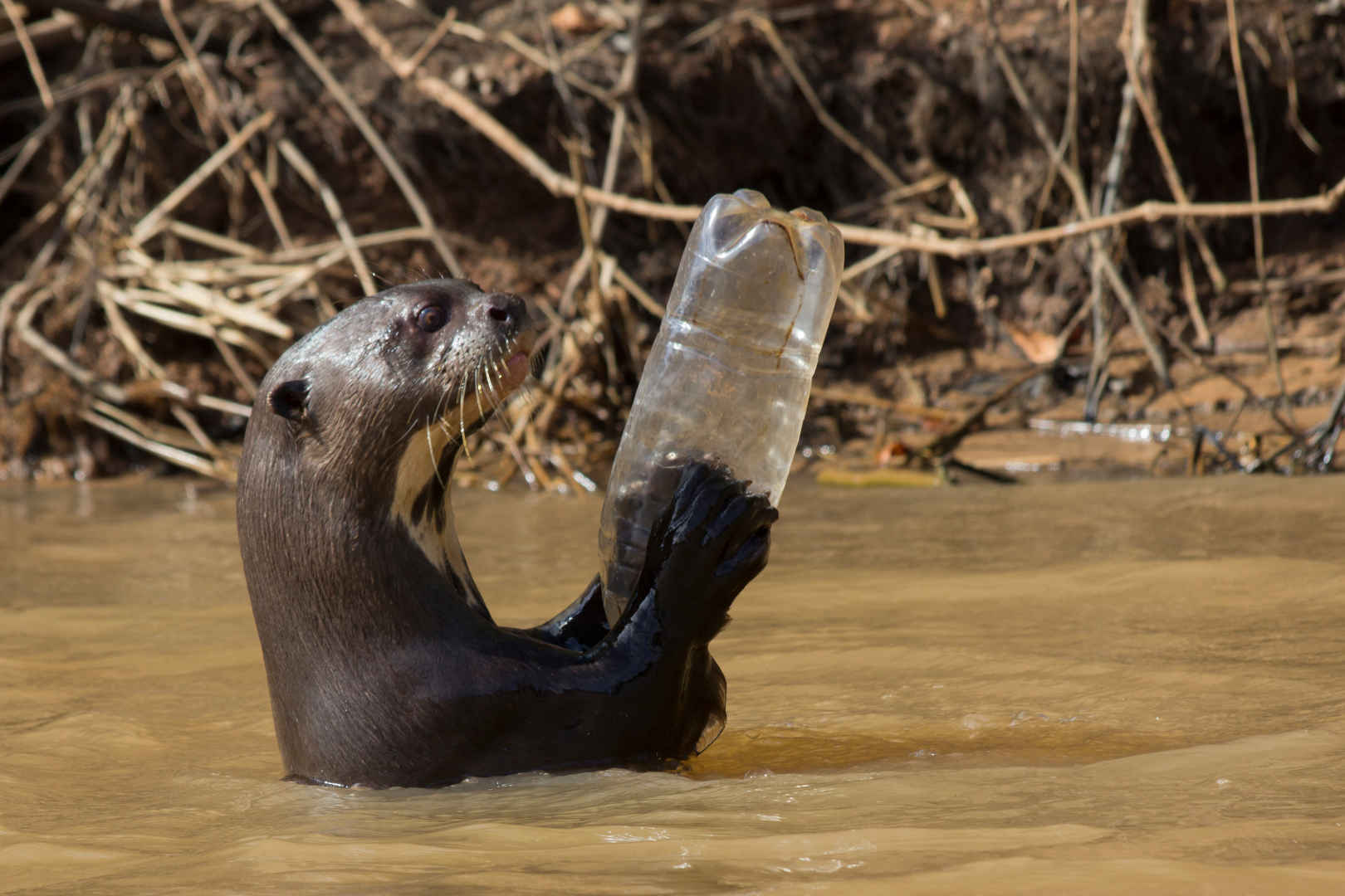 Plastik Tiere: Otter mit Plastikflasche in einem Fluss in Brasilien