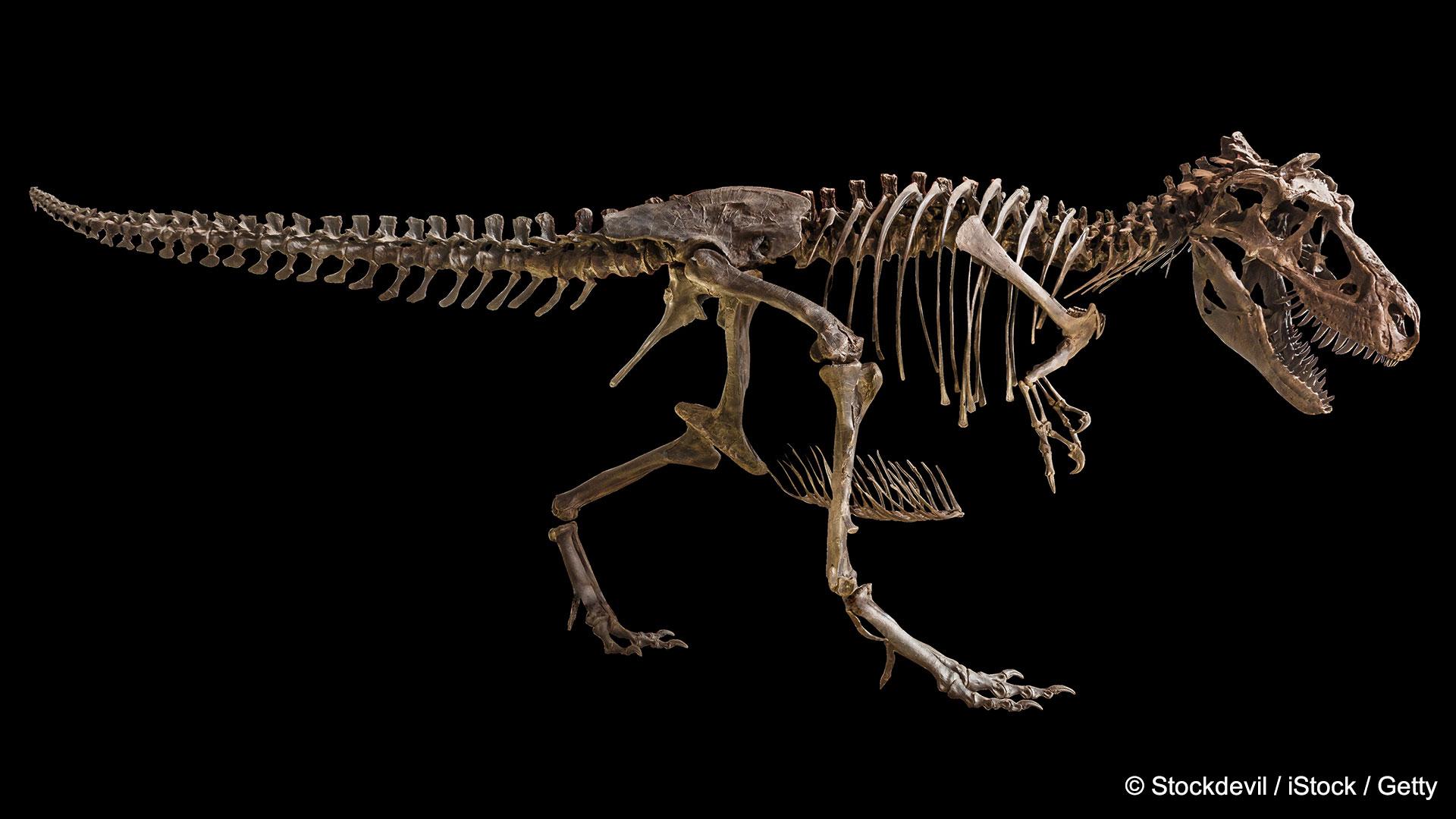 Opfer eines Massenaussterbens: Tyrannosaurus Rex