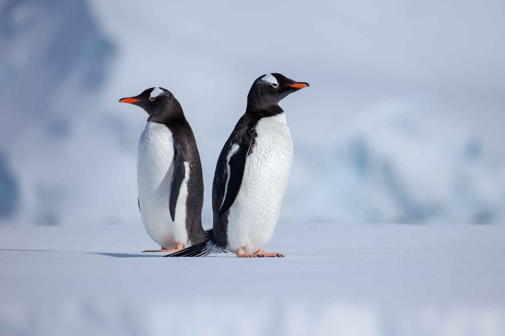 Esel Pinguine Rücken an Rücken