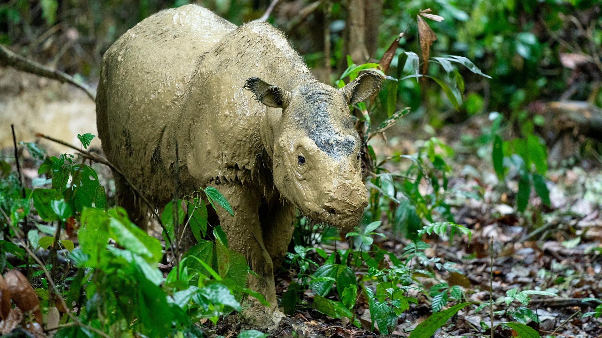 Eines der letzten Fotos: Das letzte Sumatra-Nashorn in Malaysia ist gestorben.