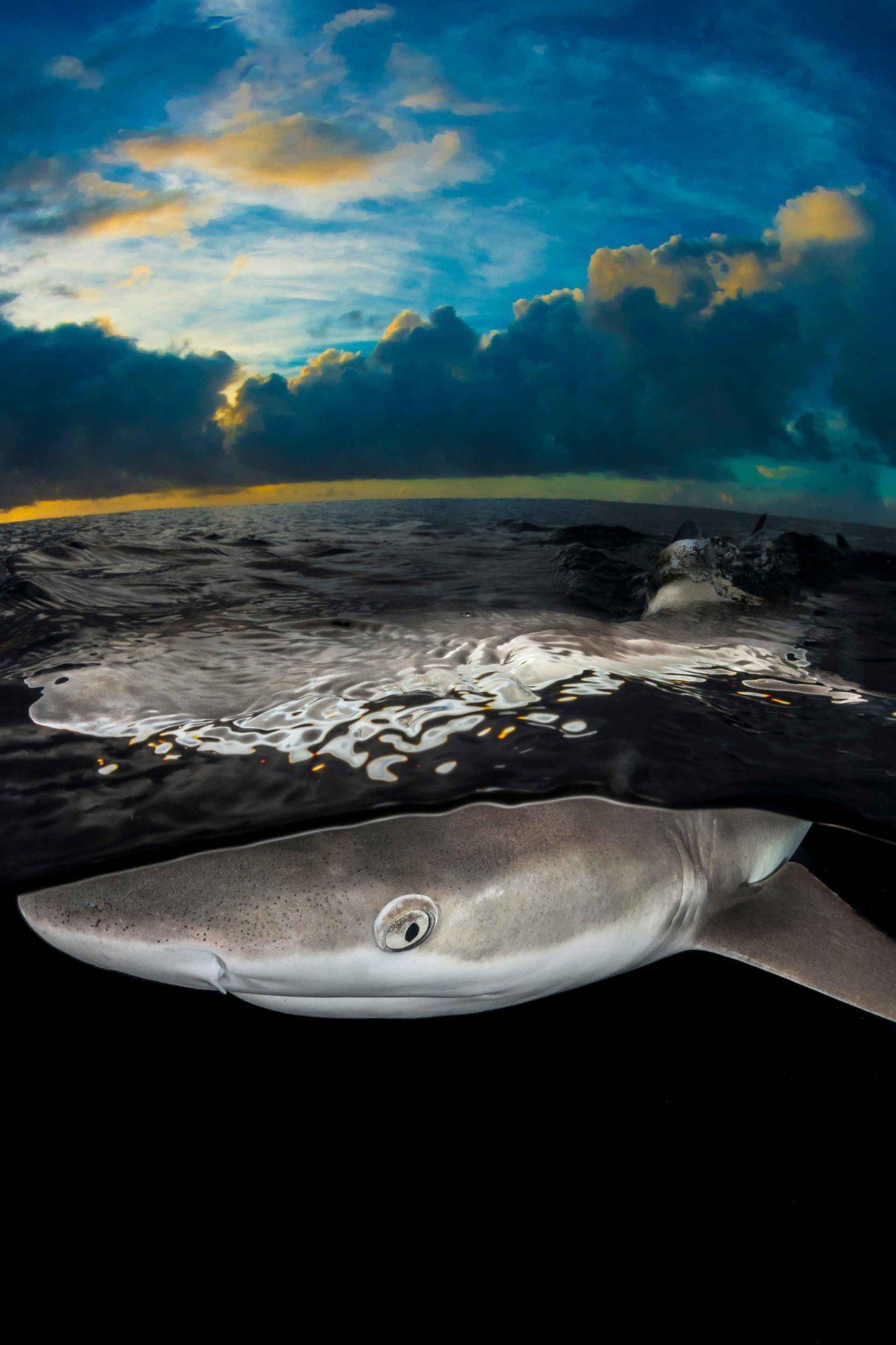 Schwarspitzenriff Hai