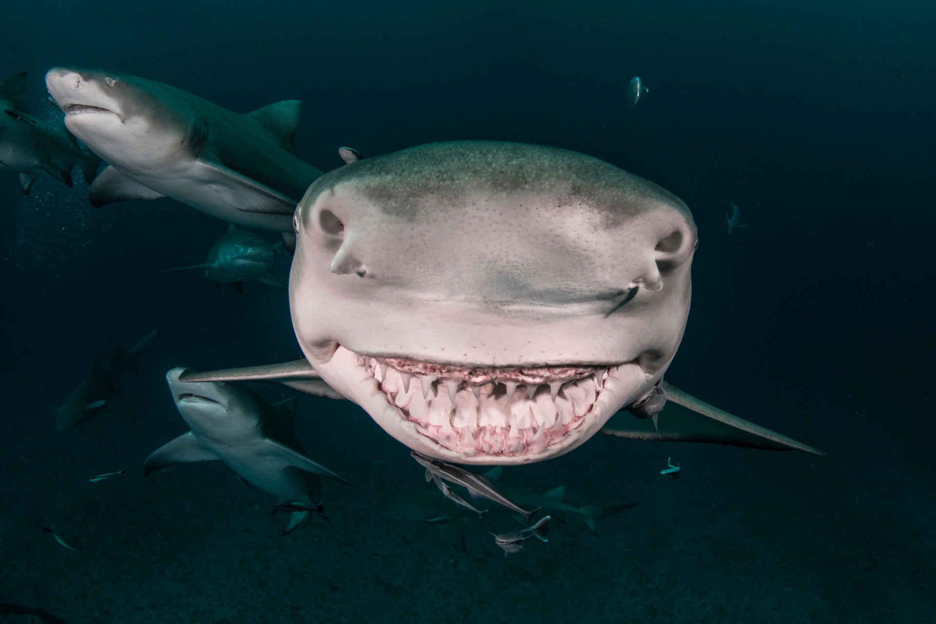 Zitronen Hai