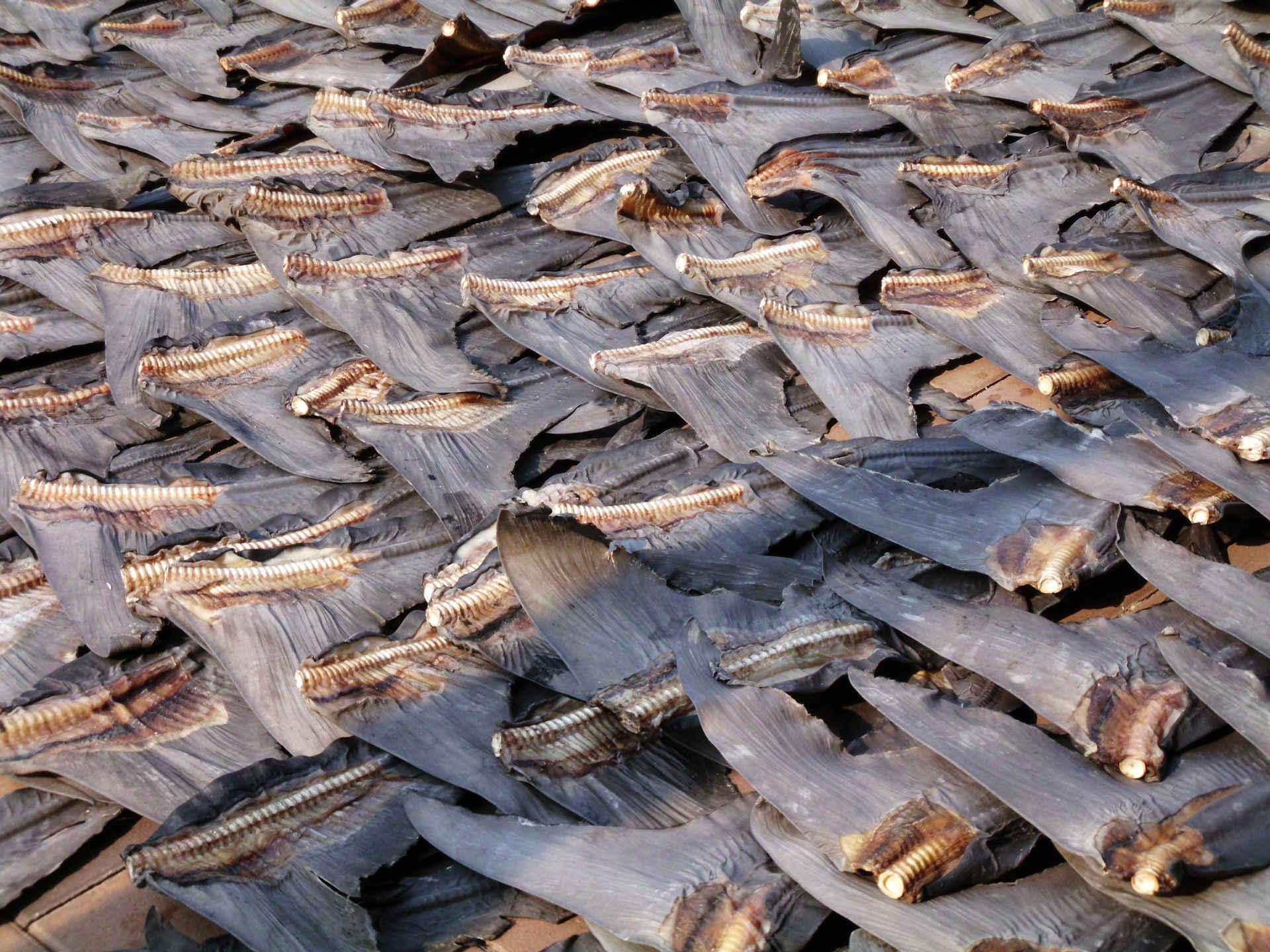 Hai Flossen: Hunderte zum Trocknenn ausgelegt, Hong kKong