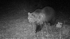 Braunbär in Fotofalle im Graswangtal © Bayerisches Landesamt für Umwelt / dpa