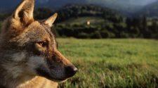 Der Bundestag hat die Gesetze zum Zusammenleben mit dem Wolf geändert. © Staffan Widstrand / WWF-Canon