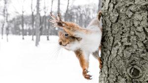 Weihnachten Eichhörnchen im Schnee