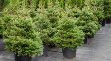 Weihnachtsbaum umweltfreundlich - zum Wiedereinpflanzen in Töpfen?
