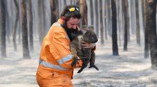Allein der Bundesstaat New South Wales könnte ein Drittel seiner Koala-Bestände durch die Feuer verloren haben. © imago-images / AAP / DAVID MARIUZ