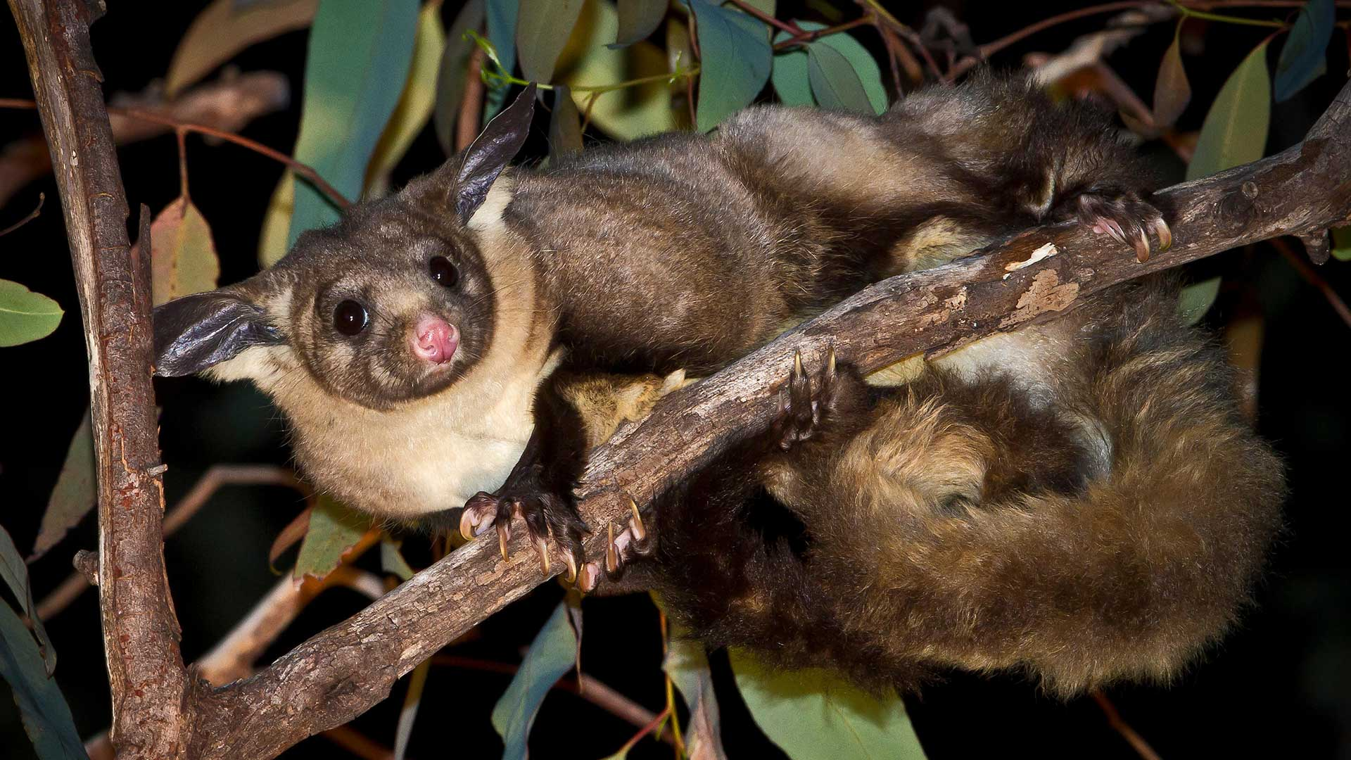 Feuer in Australien: Der Große Gleithörnchenbeutler benötigt zum Leben hohe Bäume. © Avalon / Photoshot License / Alamy
