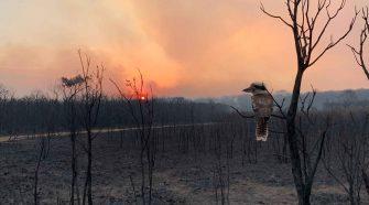 Tiere in Australien: Ein Kookaburra Vogel schaut auf einen verbrannten Wald
