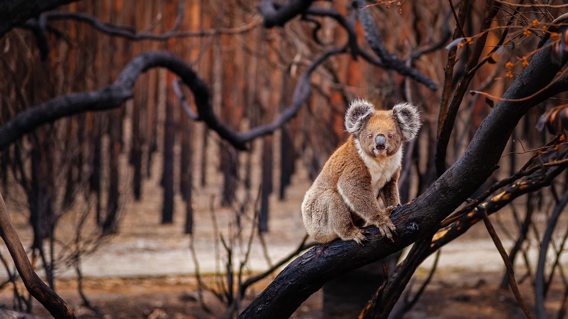 In Australien werden aktuell die Auswirkungen der Klimakrise auf Mensch und Tier sichtbar. © Julie Fletcher / WWF Australien