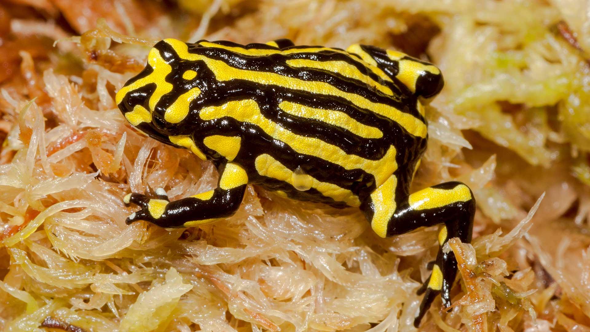 Es ist zu befürchten, dass der Südliche Corrobee Frosche verloren ist. © Ken Griffiths / iStock / Getty Images