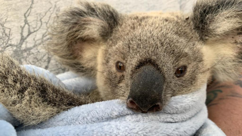 Die Feuer in Australien haben viele Tiere getötet. Dieser Koala hatte Glück