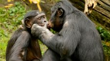 Sex, Bonobos, Kongo: Ein Kuss