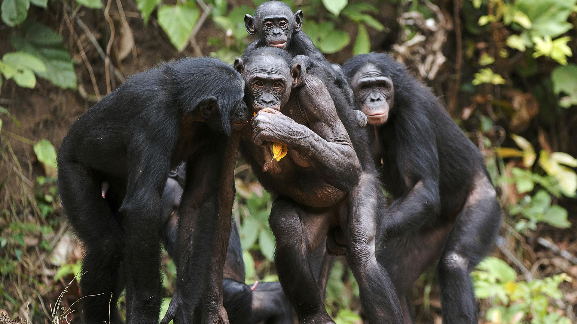 Mariarchat und Sex im Kongo: Bonobos bei der Liebe
