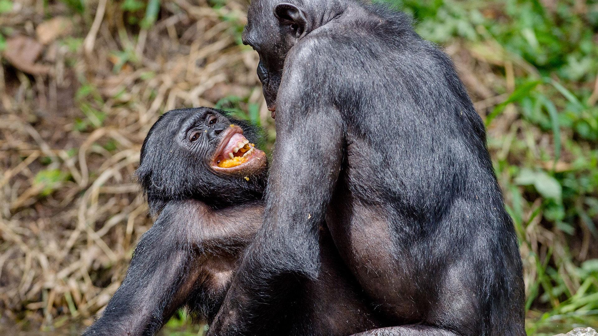 Sex im Kongo: Bonobos bei der Paarung