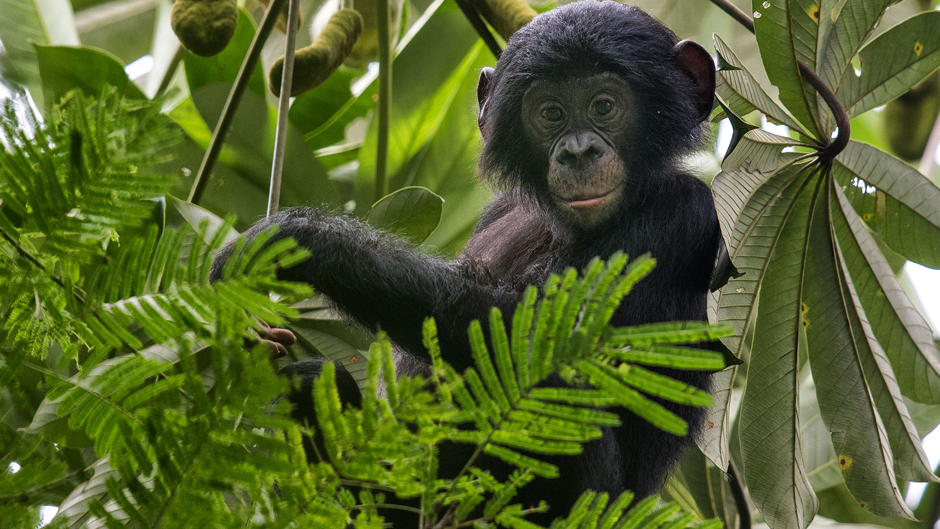 Liebe und Matriarchat am Kongo: Bonobo in seinem Baum