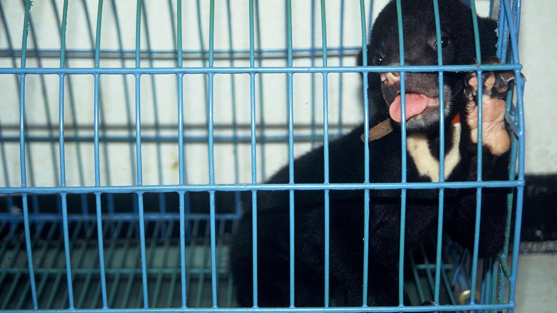 Verbot wildtierhandel Corona: Malaienbär im Käfig