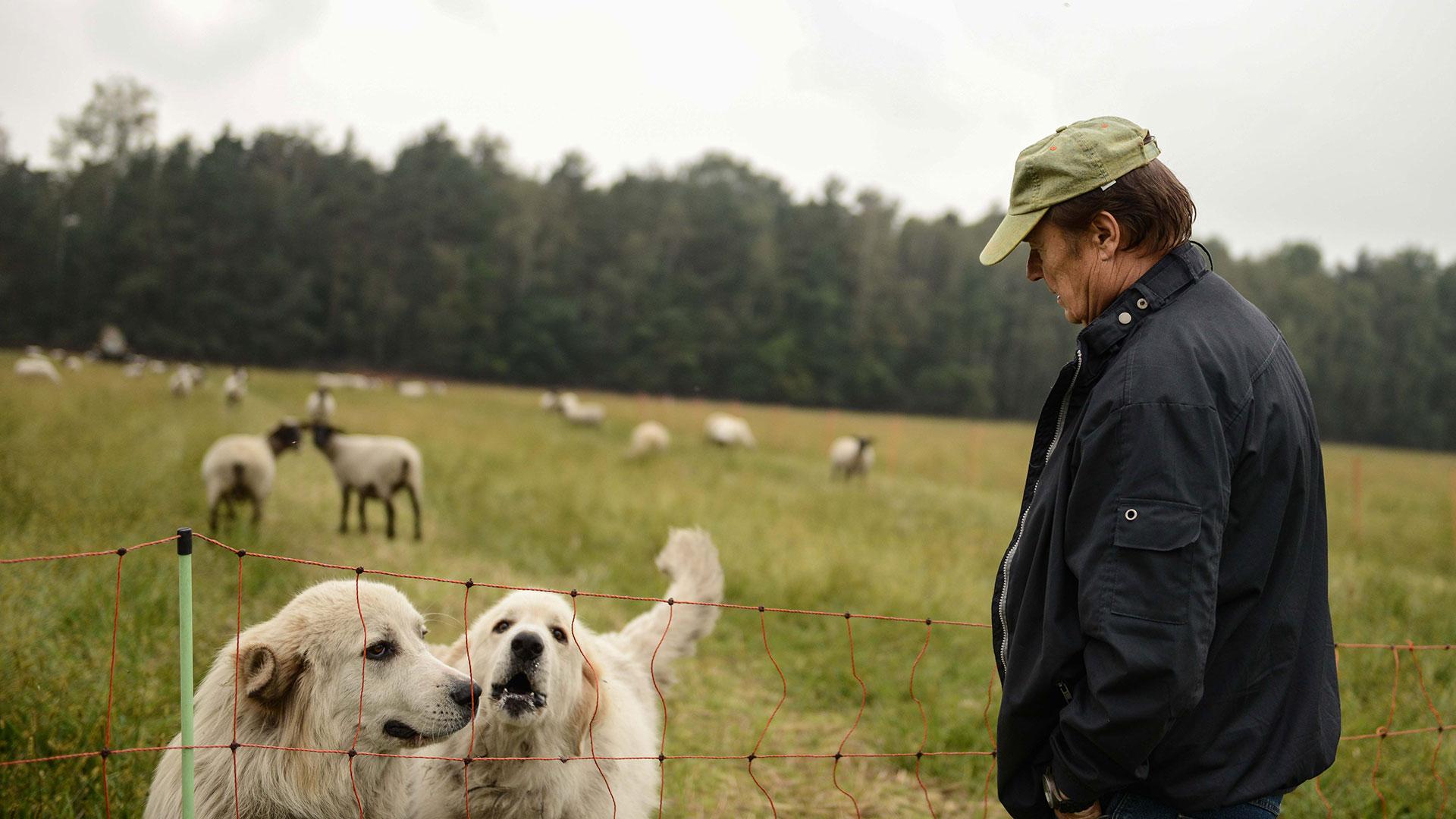 Herdenschutzhunde würden sogar gegen Wölfe bis zum Äußersten gehen um ihre Herde zu schützen. © Peter Jelinek / WWF