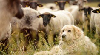 Herdenschutzhunde sind anspruchsvolle Hunde. © Peter Jelinek / WWF