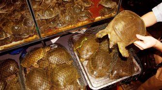 Verbot von Wildtiermärkten in China: Wasserschildkröten
