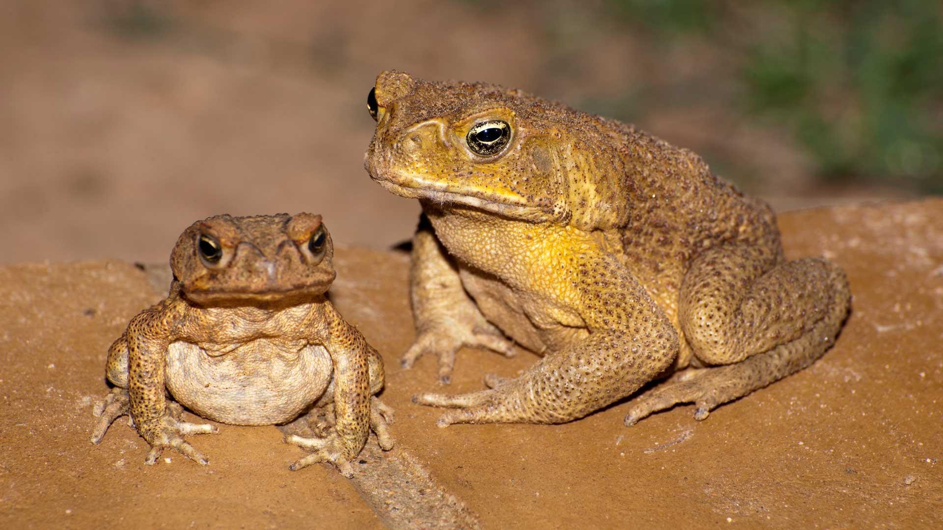 Zwei Aga-Kröten in Australien