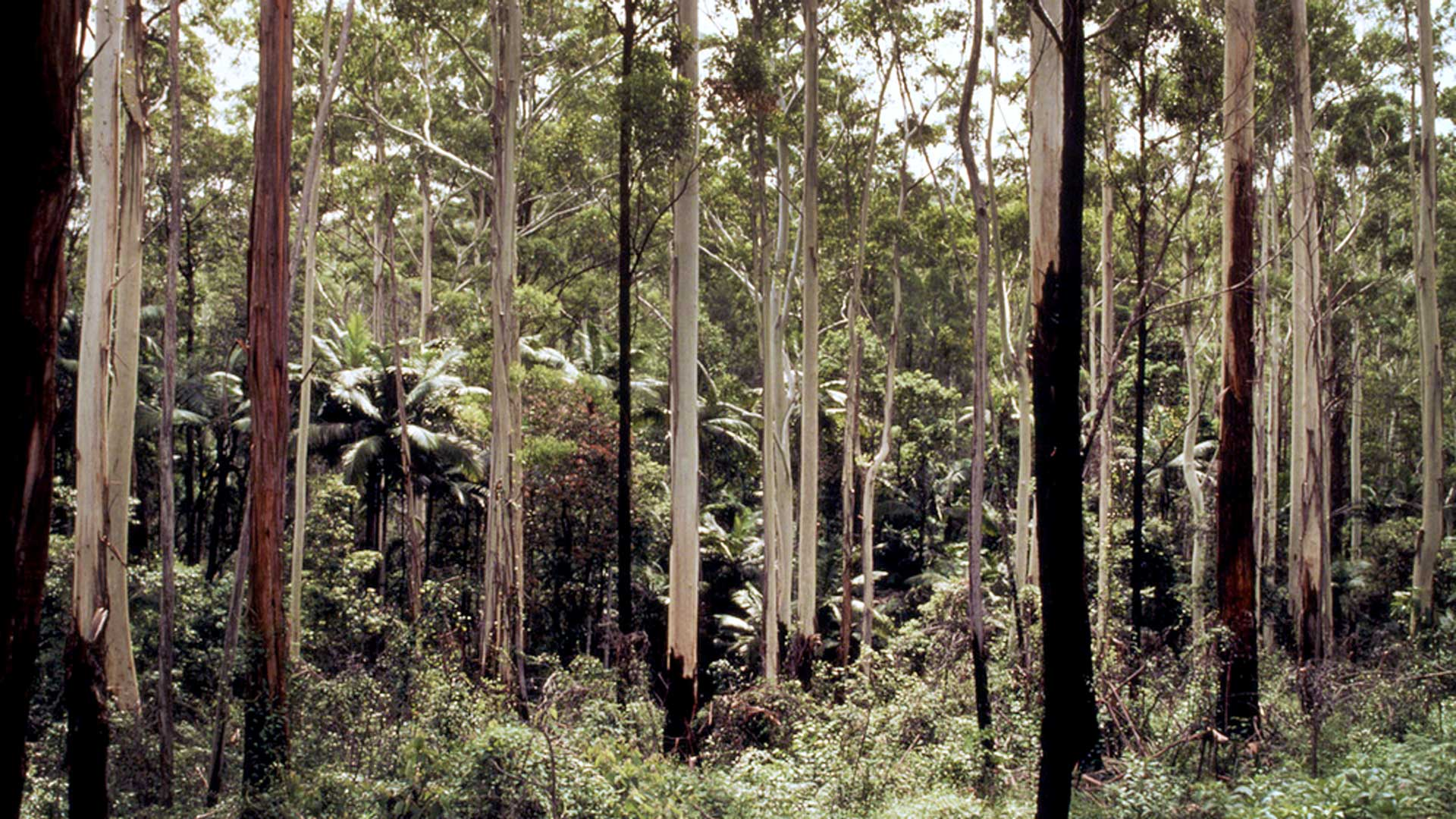 Eukalyptus gehört zu den am häufigsten gepflanzten Baumarten. © Michèle Dépraz / WWF