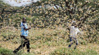 Zwei Männer kämpfen mit Heuschrecken in Ostafrika