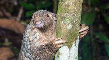 Pangolin oder Schuppentiere sind erstaunliche Tiere - wie dieses Baby am Baum