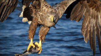 Wie groß werden Adler? Portrait über die Könige der Lüfte aufgrund der Kooperation des WWF mit der Deutschen Eishockey Liga (DEL)