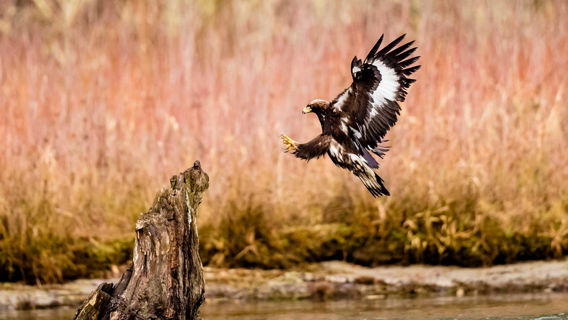 Wie schnell fliegen Adler?
