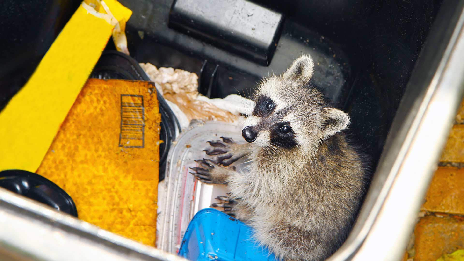 Waschbär in der Mülltonne