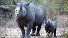 Gute Nachrichten: 2019 sind die Wildereizahlen in Südafrika um fast ein Viertel zurückgegangen. © Lindsay Balsamo / WWF