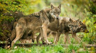 Wie viele Wölfe leben wirklich in Deutschland? Spurensuche mit Artenschutzhunden