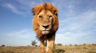 Faszinierendes Wissen über Löwen aufgrund der Kooperation des WWF mit der Deutschen Eishockey Liga (DEL)