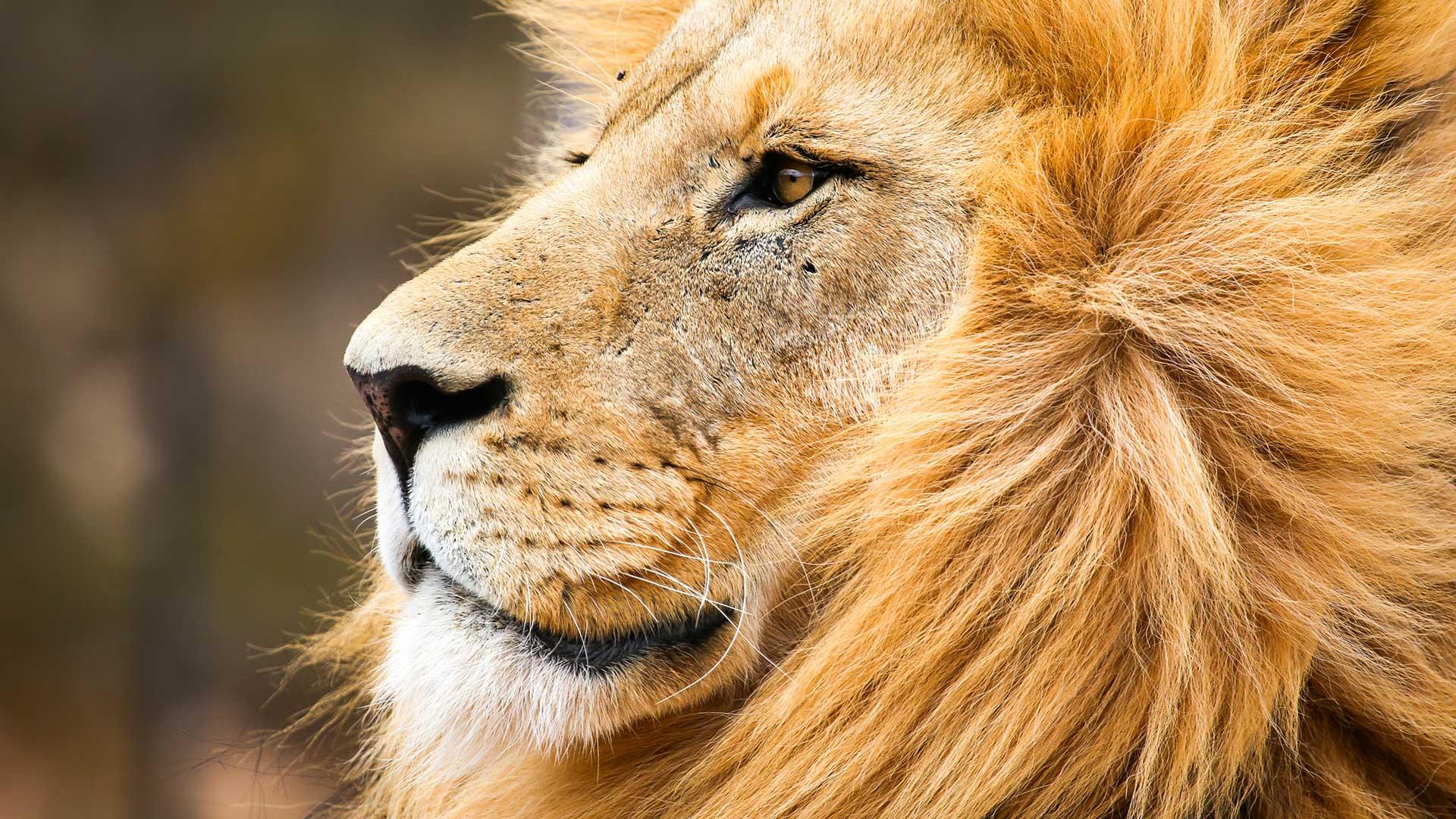 Wissenswertes über Löwen aufgrund der Kooperation des WWF mit der Deutschen Eishockey Liga (DEL)