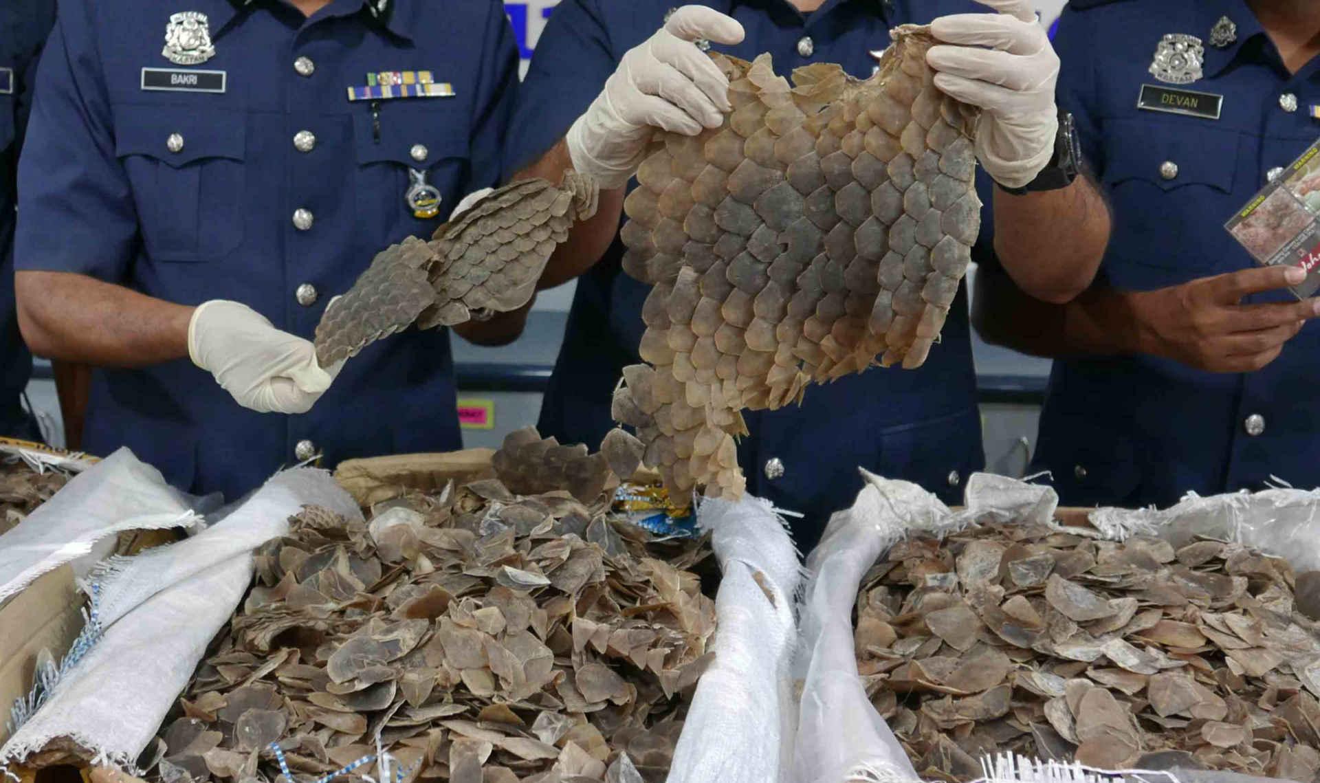 Pangolin Schuppentier: Polizei mit Körben von beschlagnahmten Schuppen