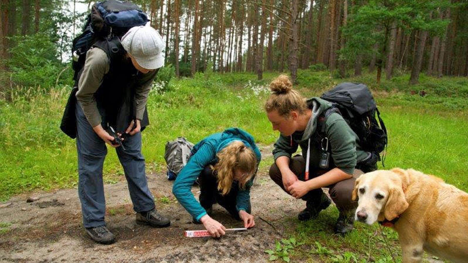 Wie viele Wölfe gibt es in Deutschland? Freiwillige helfen bei der Suche nach Wolfskot zur Datenerhebung.