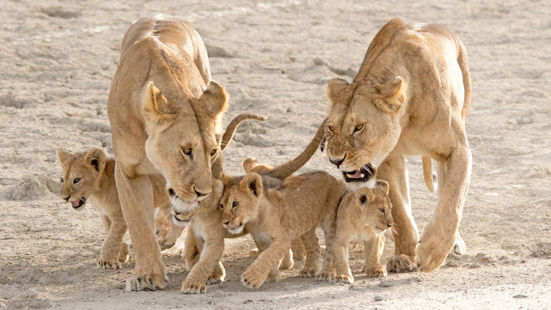 13 Fakten über Löwen aufgrund der Kooperation des WWF mit der Deutschen Eishockey Liga (DEL)