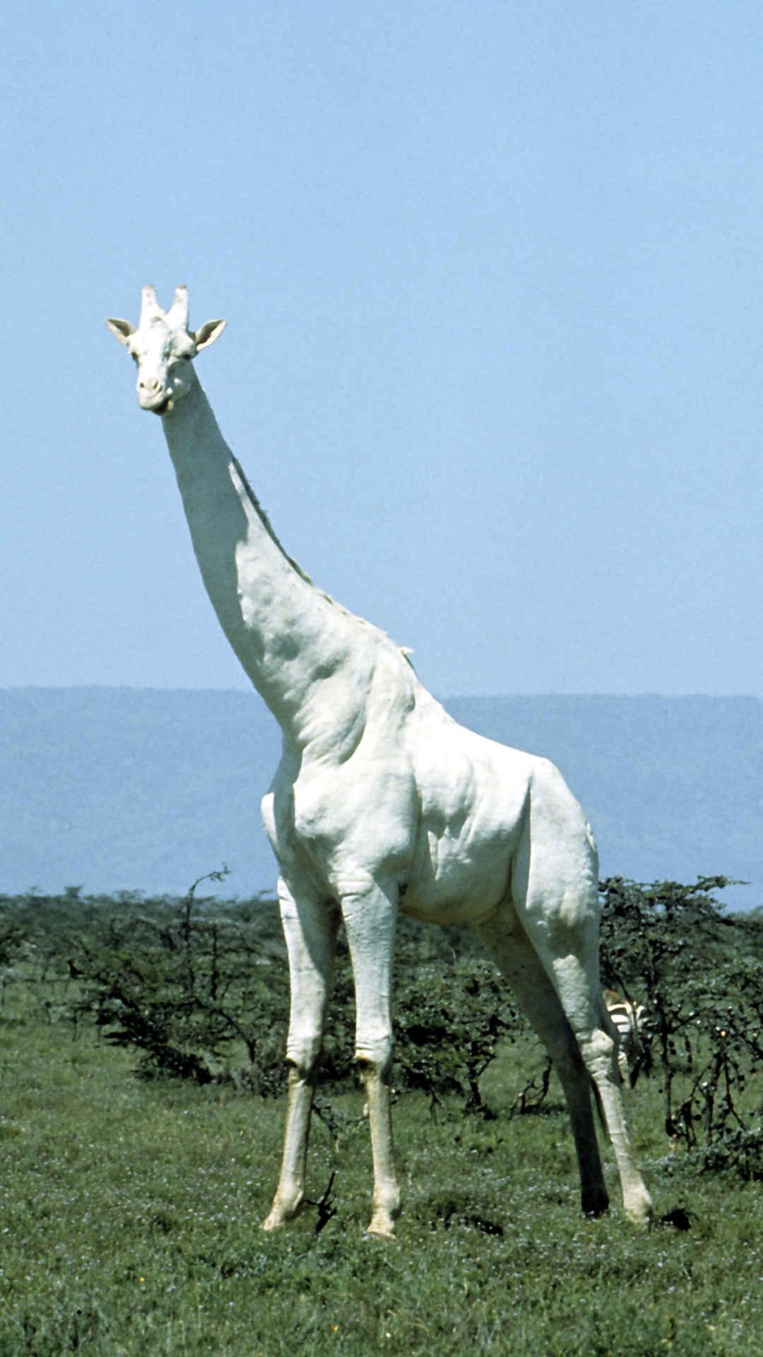 Weisse Giraffe