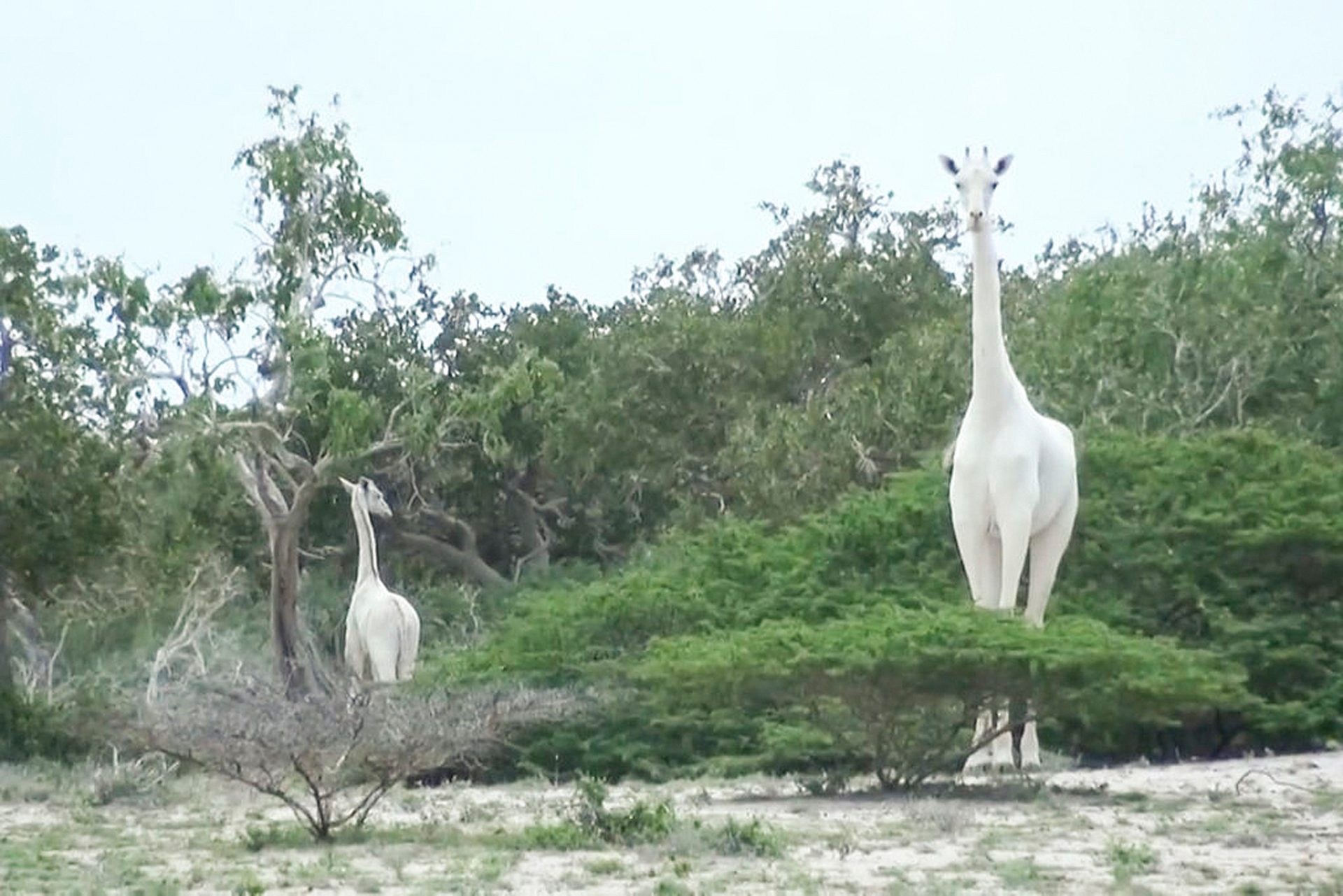 Weiße Giraffe mit Kalb am Fluss in Kenia